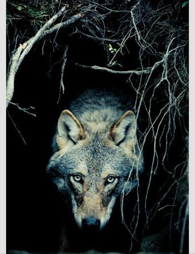 animal de poder lobo
